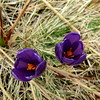 sáfránypár / Crocus couple (debreczeniemoke) Tags: plant flower crocus virág iridaceae növény springcrocus giantcrocus crocusvernus izvoare izvora sáfrány frühlingskrokus crocusheuffelianus frühlingssafran forrásliget canonpowershotsx20is crocusprintanier brânduşădeprimăvară zafferanomaggiore nősziromfélék crocusdenaples crocusdeprintemps kárpátisáfrány tavaszisáfrány brânduşădemunte