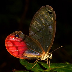 Blushing Phantom, Cithaerias pireta (Andreas Kay) Tags: butterfly ecuador nymphalidae satyrinae loscedros cithaeriaspireta blushingphantom
