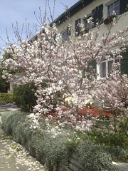 Magnolia soulangeana (thmlamp) Tags: berlin germany deutschland outdoor indoor gwb inoutdoor guessedberlin  erikistderbeste gwbatineb ratenmachtspas 05052013