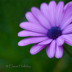 Daisy Daisy give me your answer do (loobyloo55) Tags: flowers blue flower green lens 50mm flora purple daisy f18 africandaisy 50mmlens