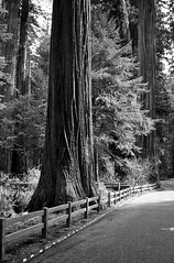 Redwood (railcrew2) Tags: bw monochrome redwoods konica 128 38mm hexanon c35