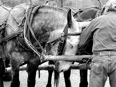 Mulish Behavior (David Hoffman '41) Tags: blackandwhite bw heritage nature animals museum rural work hair virginia village affection forestry farm gray demonstration hide strong agriculture southampton mules handler comb gentle yoke courtland southamptoncounty