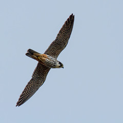 Hobby 1 (markwright12002) Tags: may hobby dorset wareham 2013 mordenbog