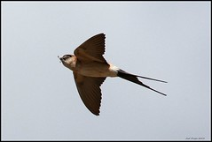 Andorinha-durica, Red-rumped Swallow (Cecropis daurica ) (Jos Diogo 58) Tags: