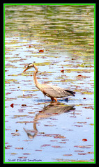 Crane (ScottElliottSmithson) Tags: blue color green bird nature scott crane michigan wetlands kensington waterfowl elliott wetland smithson blueandgreen kensingtonmetropark photomatix michiganstateparks michiganstatepark wildwinglake michiganwildlife michigannature michiganwetlands michiganmetroparks dtwpuck scottelliottsmithson