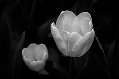 Tulips in Contrast - Copenhagen, Denmark (virtualwayfarer) Tags: park travel flowers summer flower nature water closeup contrast copenhagen garden denmark spring europe downtown tulips natural exploring tulip bloom raindrops cph scandinavia wildflower botanicalgarden blooming travelogue traveler kobenhavn centralcopenhagen whitetulip universityofcopenhagen alexberger virtualwayfarer