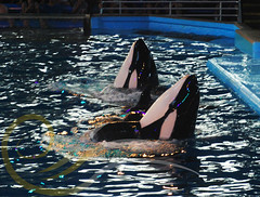 Takara and Unna5 (GypsySkye7) Tags: sanantonio believe orca seaworld shamu takara killerwhale unna captivity