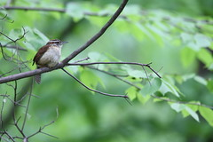 Carolina Wren Profile (fredhosley) Tags: nature birds forest canon state wildlife massachusetts carolina wren upton