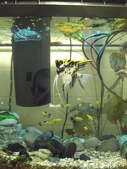 Michael (stuart.charbonneau) Tags: fish aquarium fishtank angelfish