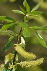 WILLOW FLOWERS (Colin Avison) Tags: water attenborough naturereserve quarry beeston nottinghamshire wildlifetrust