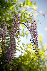 Wisteria 2137 (Elle***) Tags: flower leaves garden leaf purple blossom outdoor lilac bloom wisteria