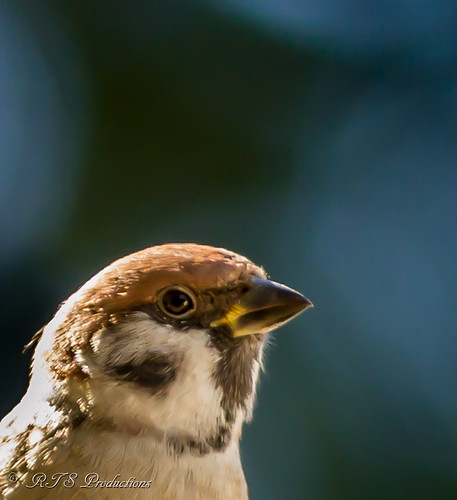 The Pensive Sparrow