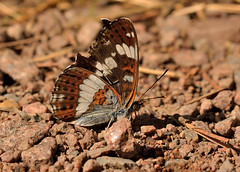White Admiral (Severnrover) Tags: white admiral underwing grounded butterfly