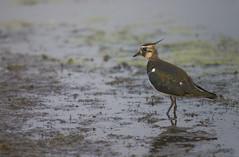 Vanneau hupp (kingfisher001) Tags: vanneau hupp charadriids charadriiformes prssals prairies baie somme picardie oiseaux oiseau marais ctiers