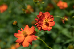 DSC02112 (Zengame) Tags: hamarikyu hamarikyugardens rx rx1 rx1r rx1rm2 rx1rmark2 sony zeiss cc cosmos creativecommons flower japan tokyo           jp
