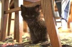 Yoda Under Chair (dblees) Tags: cat gato chat kitty  koka kat kissa katze gatto kot pisic maka katt  kedi con mo       gata