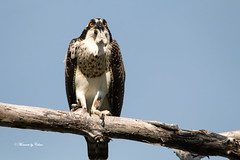 A Fishy Tail (Canon Queen Rocks (1,000,000 + views)) Tags: birdsofprey bird feathers wildlife wings wild nature pearched eyes osprey
