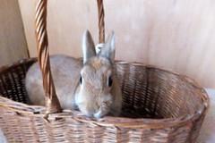 Ichigo san 292  (mensore) Tags: brown bunny cute family ichigo netherland dwarf netherlanddwarf pet rabbit