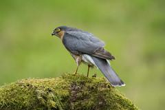 Sparrow Hawk ~ Explored (Margaret S.S) Tags: sparrow hawk bird raptor