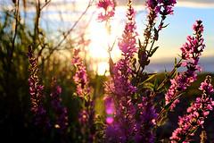 purple stuff (lambert_visuel) Tags: flowers sun throught lights passing canon6d canon