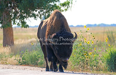 Unexpected Buffalo on Road  9694 (intricate_imagery-Jack F Schultz) Tags: jackschultzphotography intricateimageryphotography denvercolorado rockymountainarsenal buffalo herd grasses grasslands unexpected