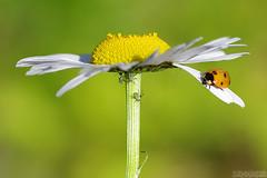 Looking for Breakfast (Vie Lipowski) Tags: ladybug ladybird ladybeetle aphid aphids daisy insect beetle bug plantlice herbaceousperennialplant flower weed wildflower wildlife nature macro