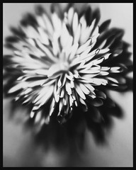 Mum (tungstensun) Tags: ilford blackandwhite macro meniscuslens softfocus papernegative flower mum stilllife largeformat 8x10