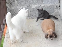 IMG_2562 (murkla_la) Tags: cat russianblue moussie gray graycat