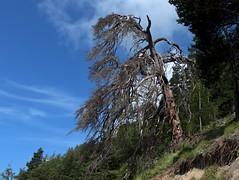 tout sec! (bulbocode909) Tags: valais suisse rarogne montagnes nature arbres ciel nuages forts vert bleu