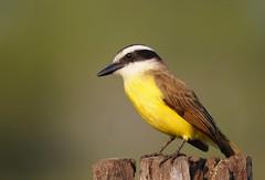 Bem-te-vi / Great Kiskadee (anacm.silva) Tags: bemtevi greatkiskadee ave bird wild wildlife nature natureza naturaleza birds aves pantanal brasil brazil pitangussulphuratus g