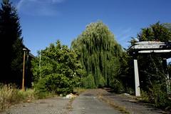 Neubrandenburgs Ruinen IMG_1278 (nb-hjwmpa) Tags: neubrandenburg trauerweide trees bäume tusekgmbh ihlendelderstrasse