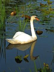 Mute Swan (female) (Photos by the Swamper) Tags: waterfowl swan muteswan