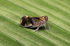 Hemiptera sp. (Plant Hopper) - Costa Rica (Nick Dean1) Tags: hemiptera costarica guanacaste lakearenal arenallodge canon canon7d macro planthopper leafhopper