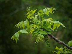 FB-1030092-2 (Nancy_Allen) Tags: 100klein birdfeeder garden primrose rhododendron windchimes yard