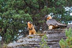 2 gypates barbus  sur une barre rocheuse (Hubert Chiapusso) Tags: oiseau aussois animalsauvage gypatebarbu rapace gypatesbarbus