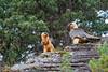 2 gypaètes barbus  sur une barre rocheuse (Hubert Chiapusso) Tags: oiseau aussois animalsauvage gypaètebarbu rapace gypaètesbarbus