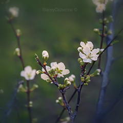 (stacey catherine) Tags: flower flowers blossom montagu spring white texture layers square botanical nature garden