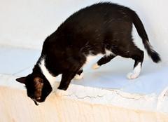 Gata Gitana (8) (adopcionesfelinasvalencia) Tags: gata gitana