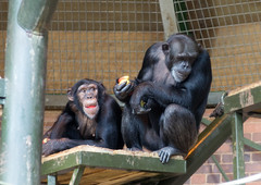 Chimpanzee (Mike Serigrapher) Tags: chester zoo pan troglodytes common robust chimpanzee