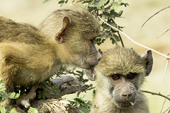 What's that? Look! Look! (quiinc) Tags: select africa kenya safari amboseli baboons