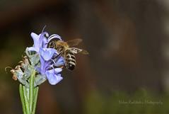 So sweet flower (Nikos Roditakis) Tags: rosemary flower honey bee insects flowers rosmarinus officinalis apis meliphera nikos roditakis nikon d 5200 macro tamron af sp 90mm f28 di vc usd