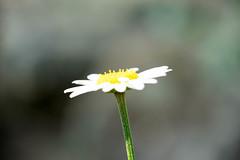 DSC01136.jpg (chagendo) Tags: pflanze makro makrofotografie sonyalpha7ii 90m28g outdoor
