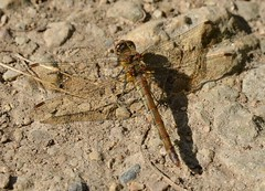 dragonfly, briefly resting (simon edge) Tags: insect dragonfly basking