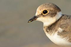 Little Ringed Plover @ Al Qudra Oasis, Dubai, UAE (Ma3eN) Tags: little ringed plover bird qudra oasis dubai uae 2016