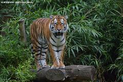 Siberian tiger - Allwetterzoo Munster (Mandenno photography) Tags: dierenpark dierentuin dieren animal animals duitsland germany munster allwetterzoo allwetterzoomunster tiger tijger tigers tijgers fedor