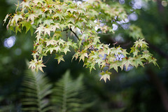 Beautiful Green (_anke_) Tags: 2016 digital 50mm14 primelens autumn fall season seasonal tree nature mapletree japanesemaple branches leaves leaf plant bokeh dof blur botanicalgarden garden park outdoors green fern ferns