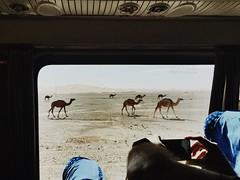 El camino de los dromedarios (yanitzatorres) Tags: caravana manada animales sahara bus desdeelcoche desert morocco marruecos desierto camels camellos dromedarios