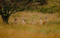 Spotted! (Peter Quinn1) Tags: reddeer hind whiteedgemoor bigmoor whiteedge derbyshire moorland rut rowan