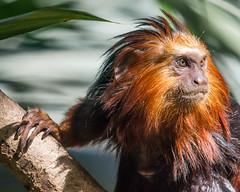 DSC_9724-1 (craigchaddock) Tags: zoe goldenheadedliontamarin leontopithecuschrysomelas parkeraviary sandiegozoo endangeredspecies newworldmonkey monkey tamarin goldenheadedtamarin