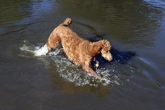 2714 (Jean Arf) Tags: ellison park dogpark rochester ny newyork september autumn fall 2016 poodle dog standardpoodle gladys water wet pond play
